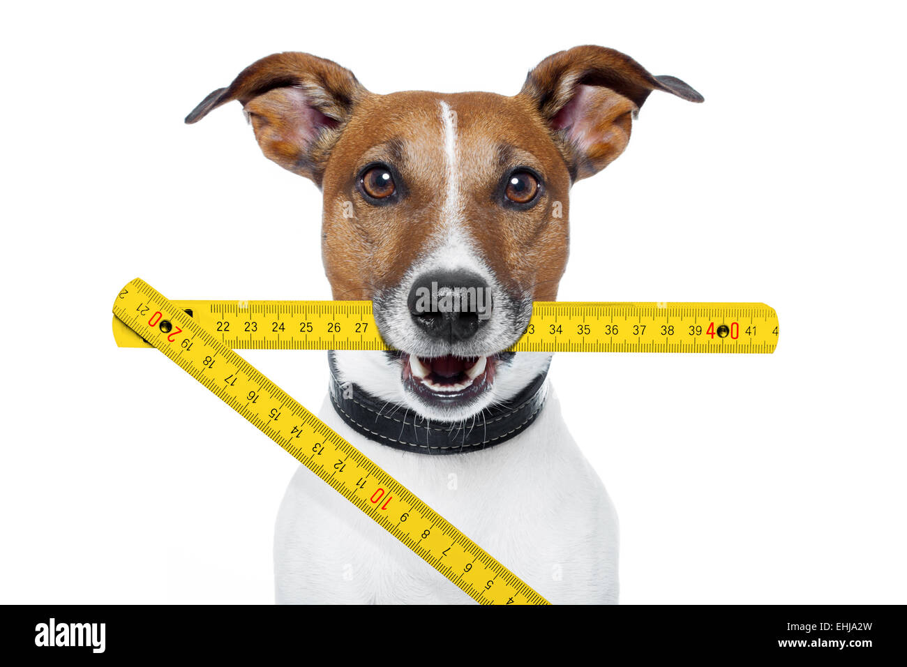 handyman dog with a yellow folding ruler - Stock Image