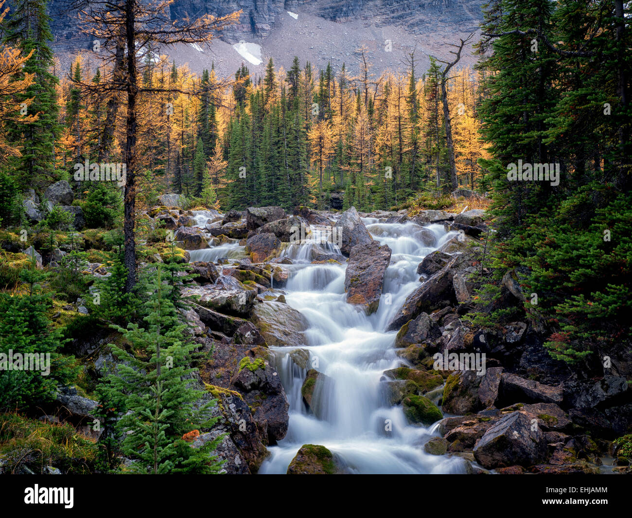 Stream flows from the Opabin Plateau past fall colored larch trees. Yoho National Park, Opabin Plateau, British - Stock Image