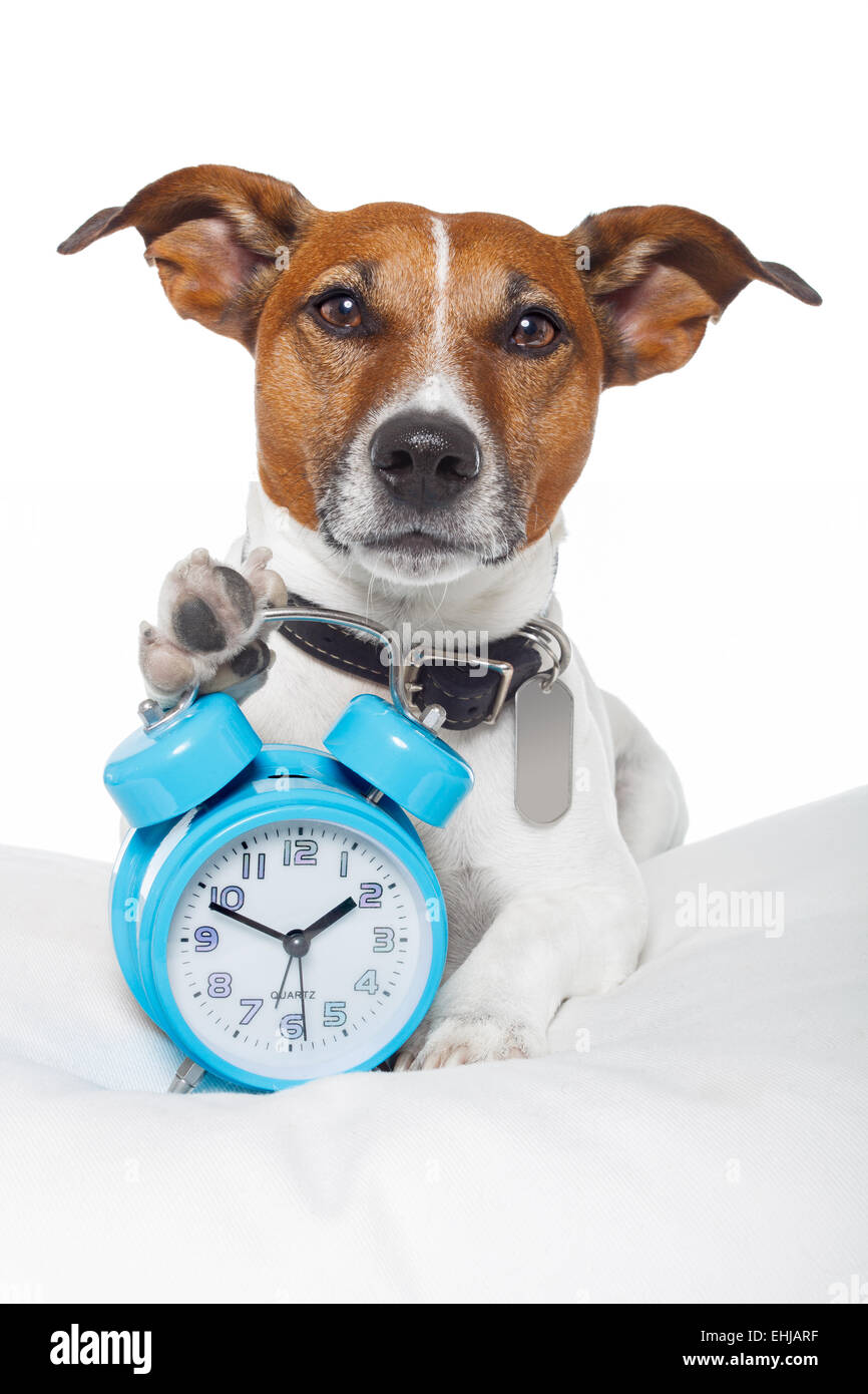 Dog sleeping with alarm clock and sleeping mask - Stock Image