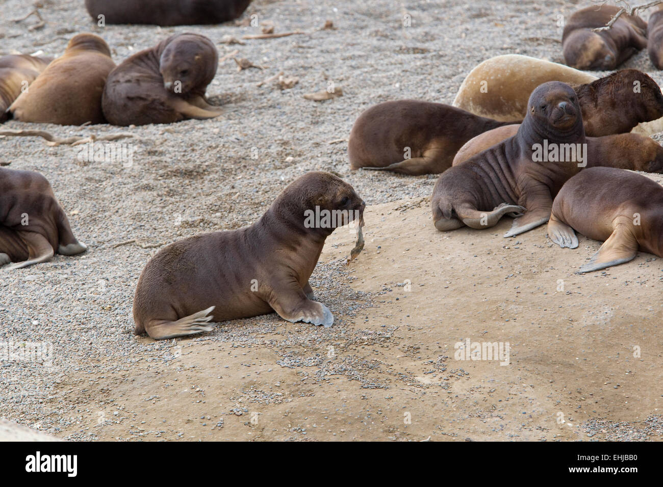 South American sea lion (Otaria flavescens) pups playing on beach of Punta Norte, Peninsula Valdes, Patagonia, Argentina - Stock Image
