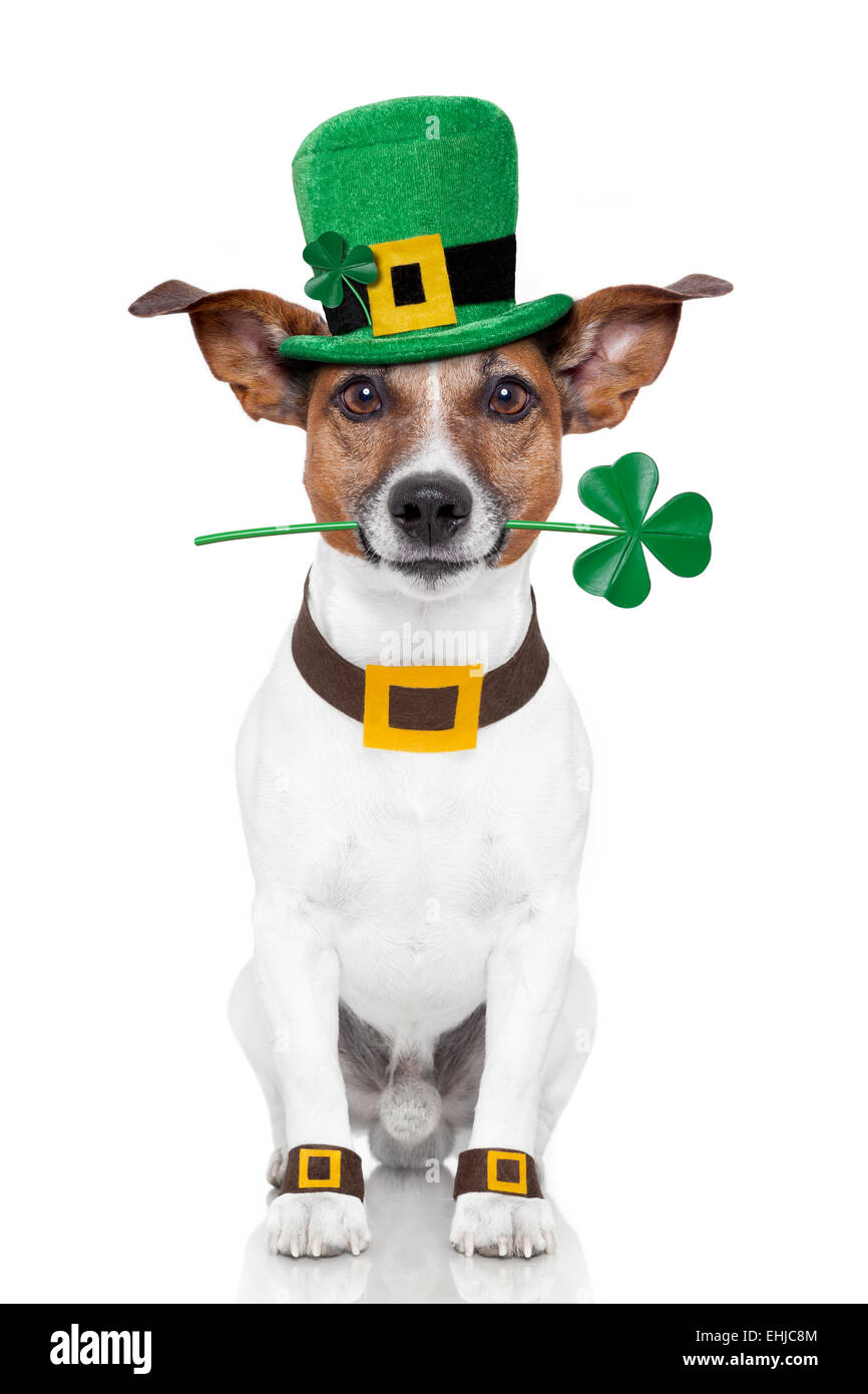st. patrick's day dog - Stock Image