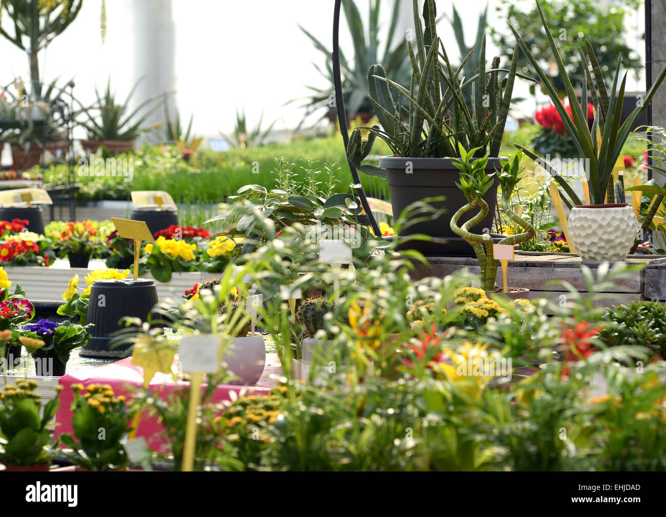 Various Healthy Blooming Flowering Plants on Pots Growing in a Nursery - Stock Image