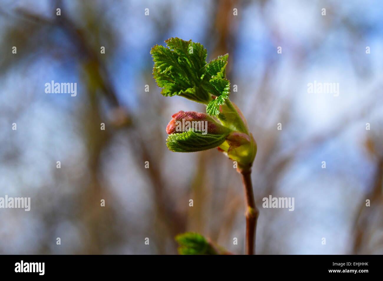 Hornbeam (Carpinus betulus) buds opening in Spring. - Stock Image