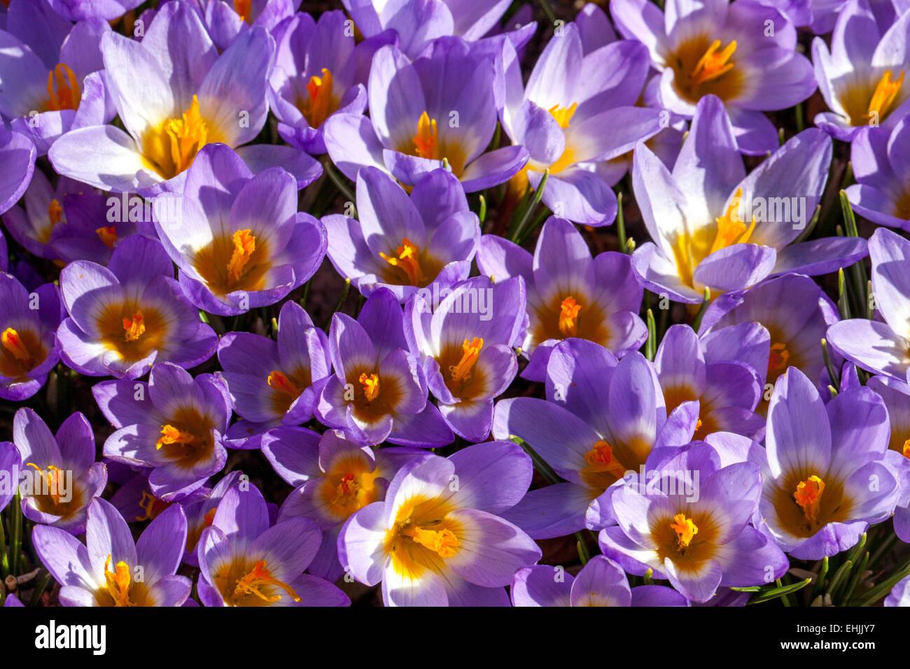 Crocus Sieberi Tricolor - Stock Image