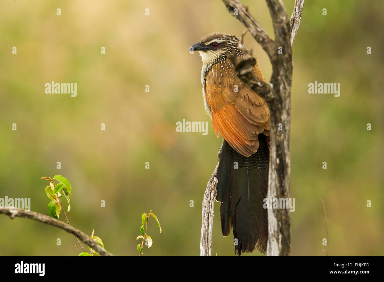 White-browed Coucal (Centropus supercilliosus) perched on a branch - Stock Image