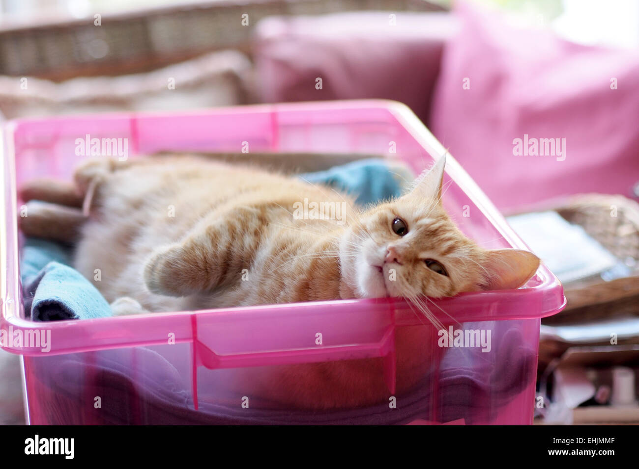 happy ginger cat enjoying her nap in a box - Stock Image