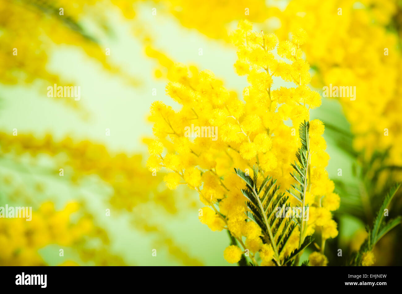 Spring bouquet with a mimosa - Stock Image