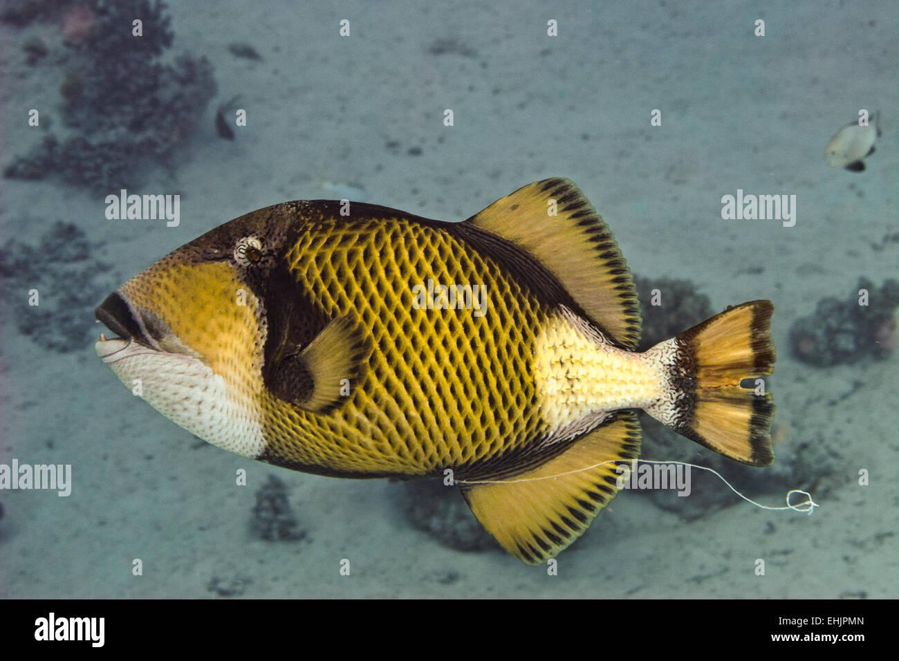 Titan triggerfish - Stock Image