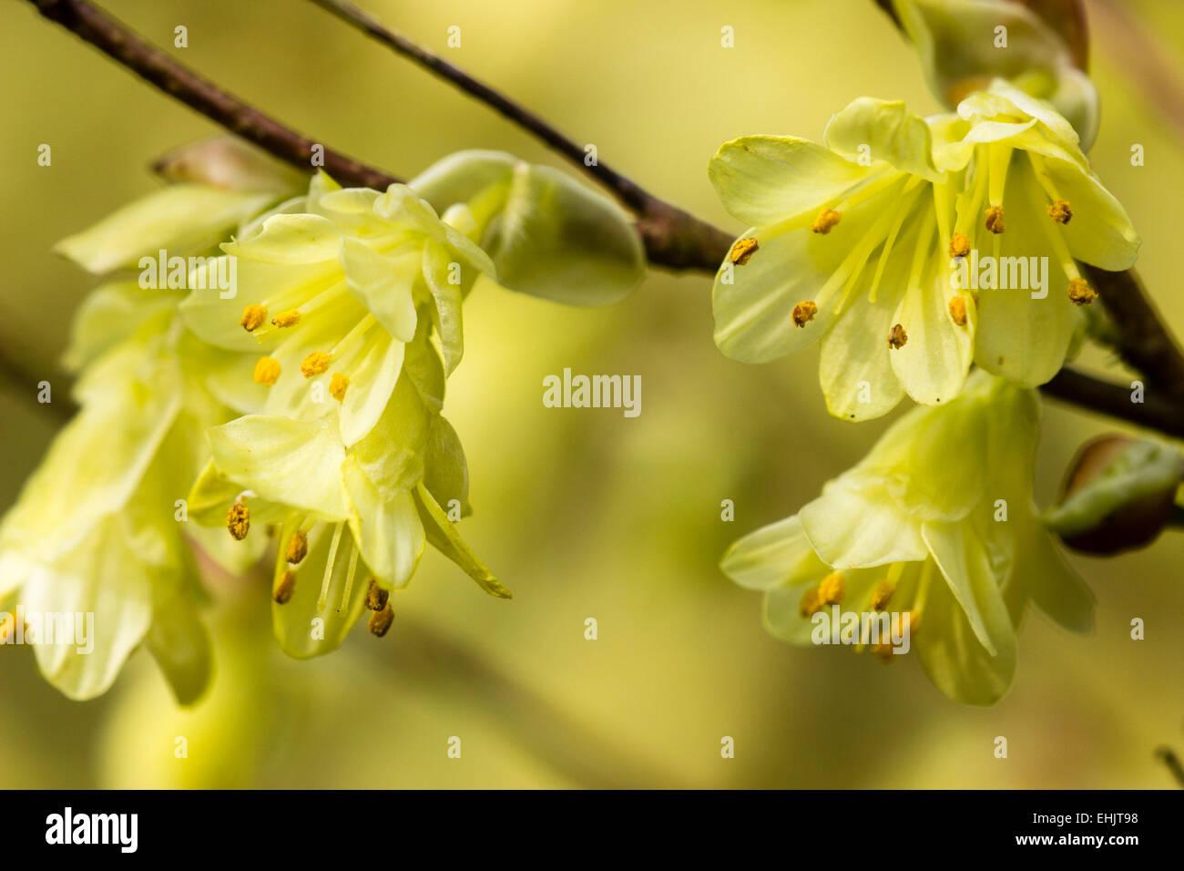 Flowers Of The Early Spring Flowering Shrub Corylopsis Pauciflora