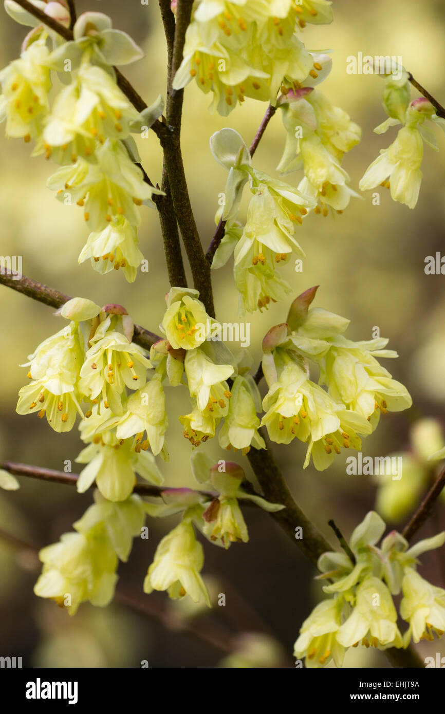 Flowers Of The Early Spring Flowering Shrub Corylopsis Pauciflora