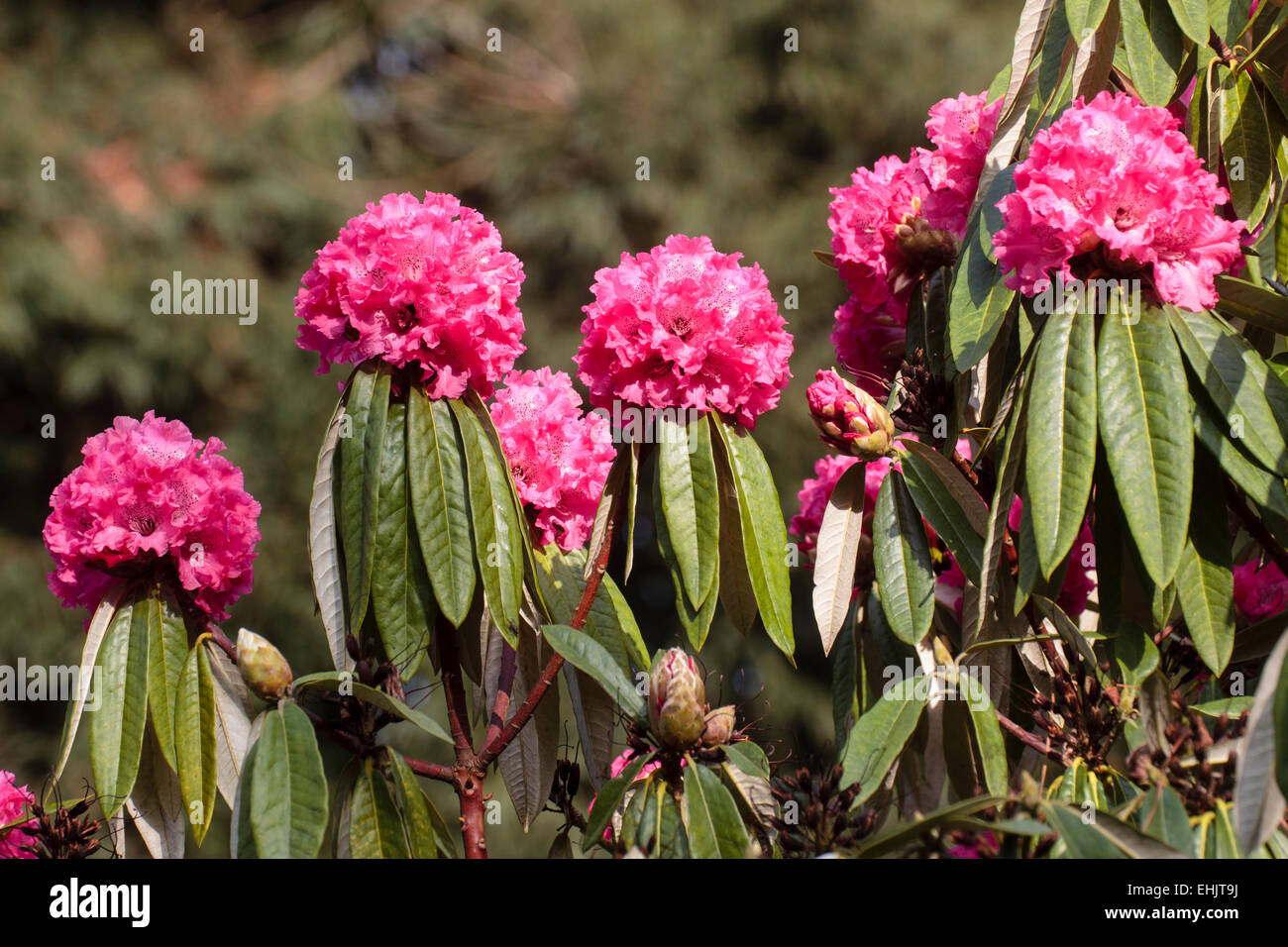 A pink form of the giant evergreen tree rhododendron, Rhododendron arboreum - Stock Image