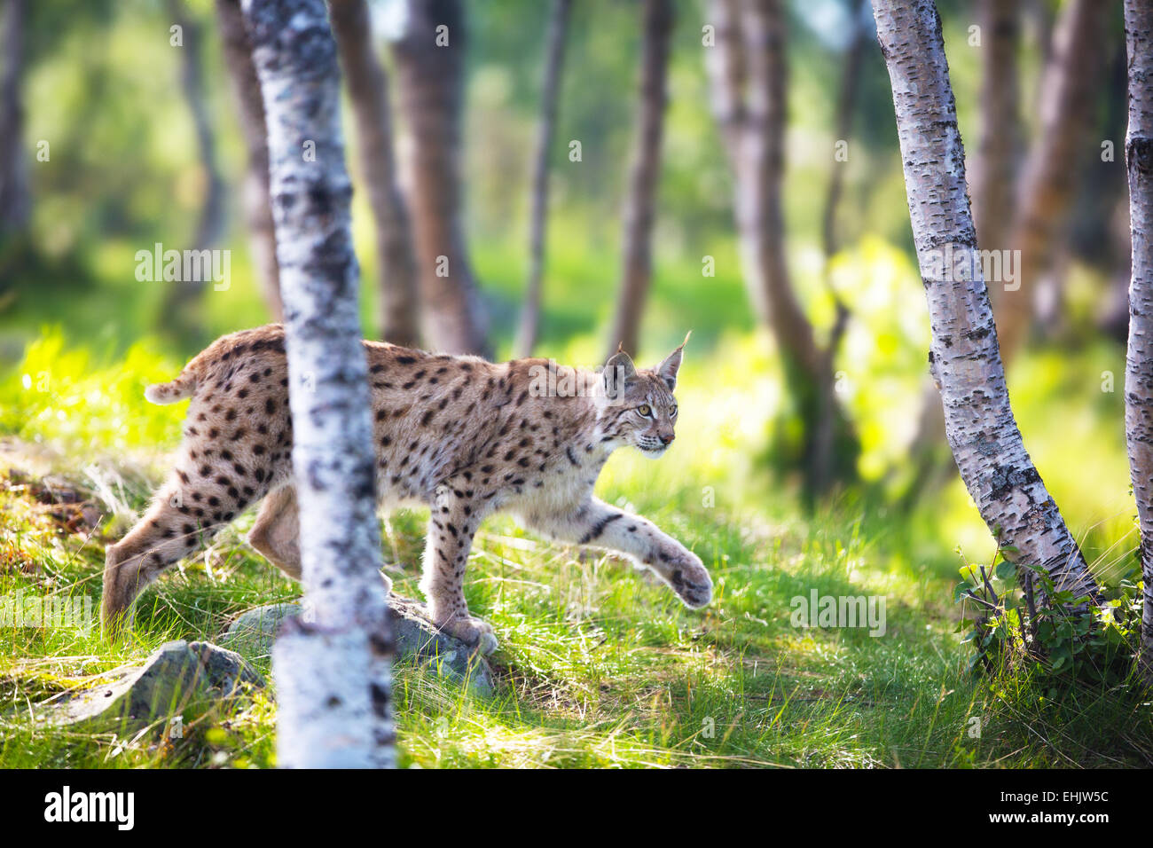 Eurasian lynx sneaks or stalking in the green forest. Stock Photo