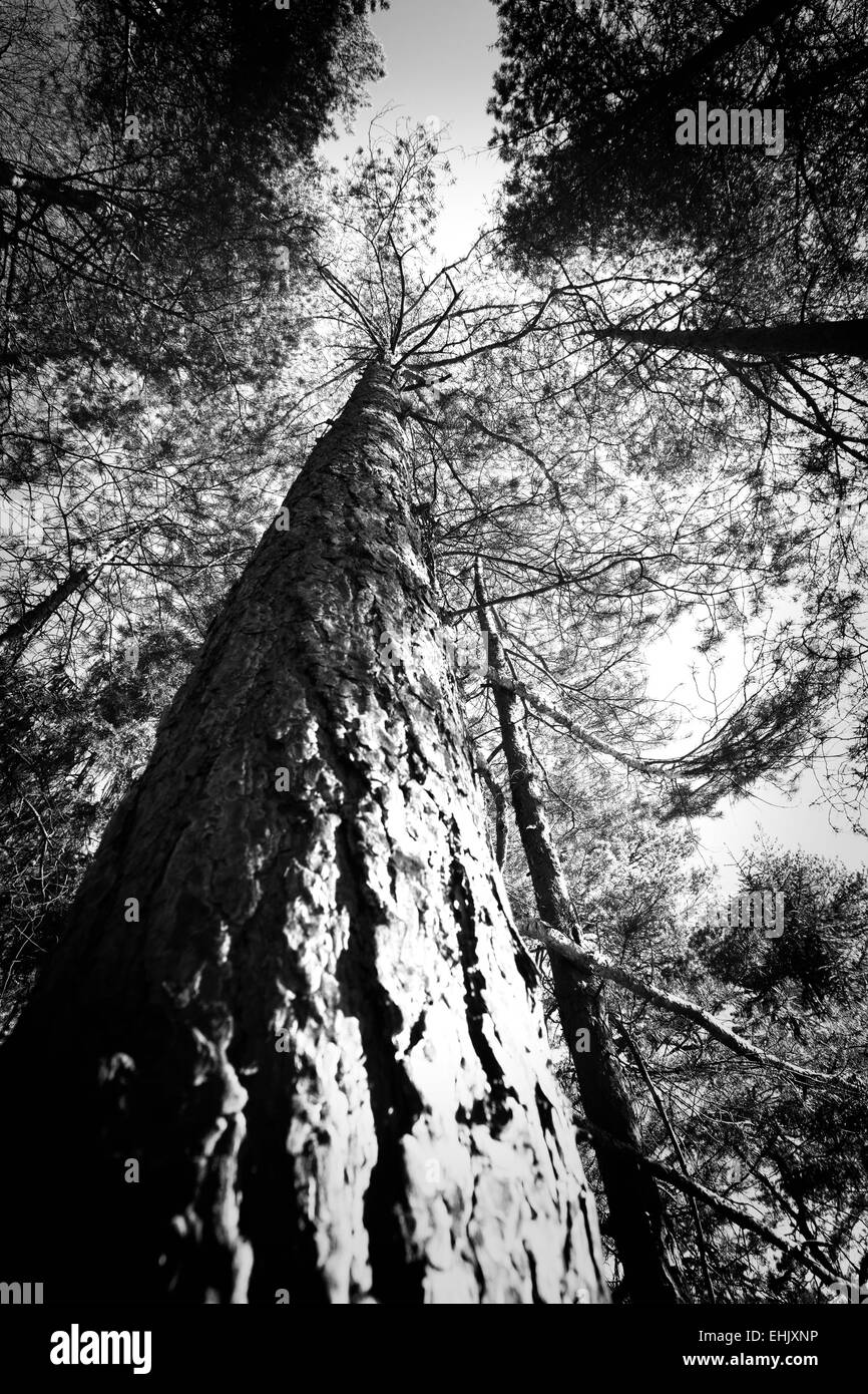 Abstract black and white image of tree tops in the forest. Can be used as background. - Stock Image