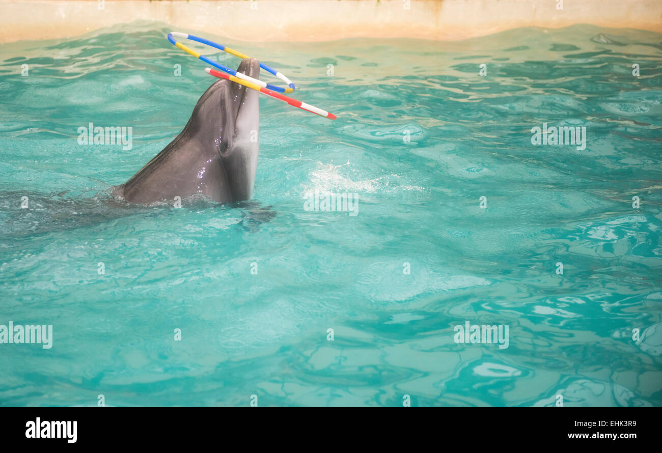 Rostov-on-Don, Russia- February 1, 2015: Dolphin floats and rotates the nose two rings in the Rostov dolphinarium - Stock Image