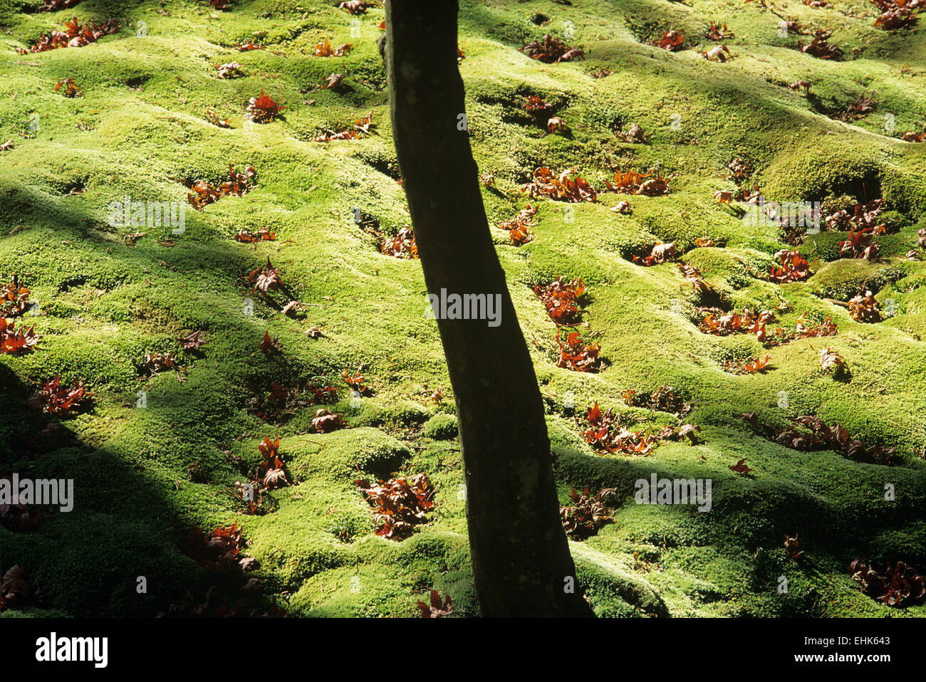 A vignette of some moss, leaves and tree trunks in the 900 year old garden of Saiho-ji in Arashiyama. - Stock Image