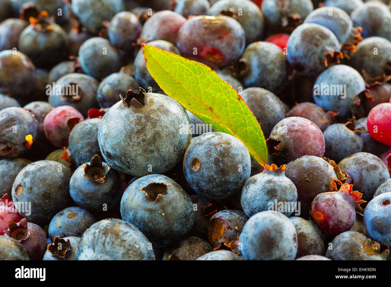 Freshly picked wild low bush blueberries - Stock Image