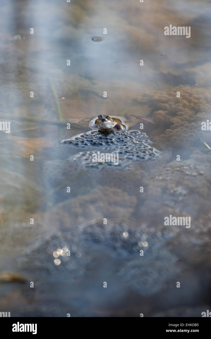 A frog in a pond tends its frog spawn - Stock Image