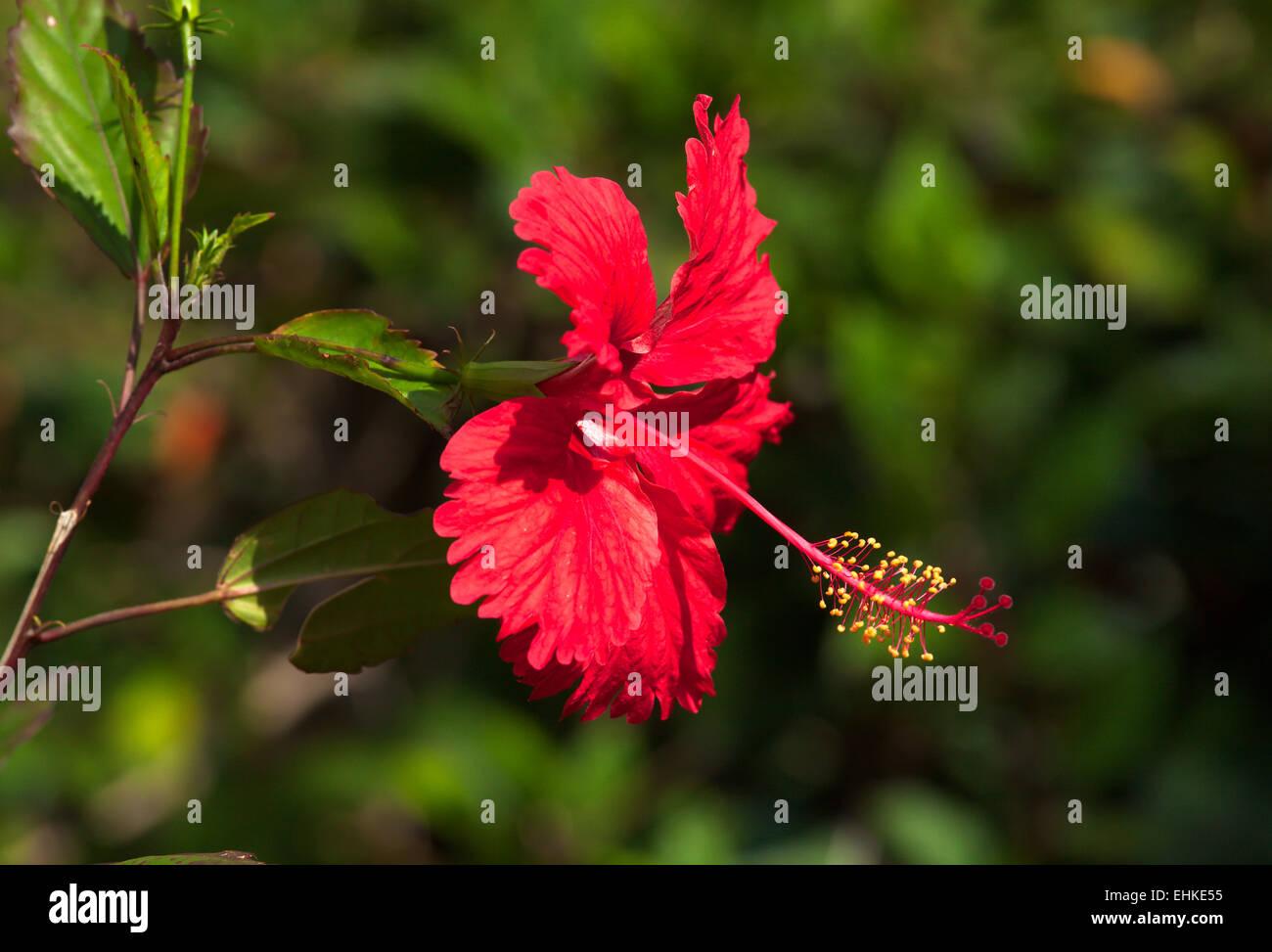 Red hibiscus flower in park of old havana cuba stock photo red hibiscus flower in park of old havana cuba izmirmasajfo