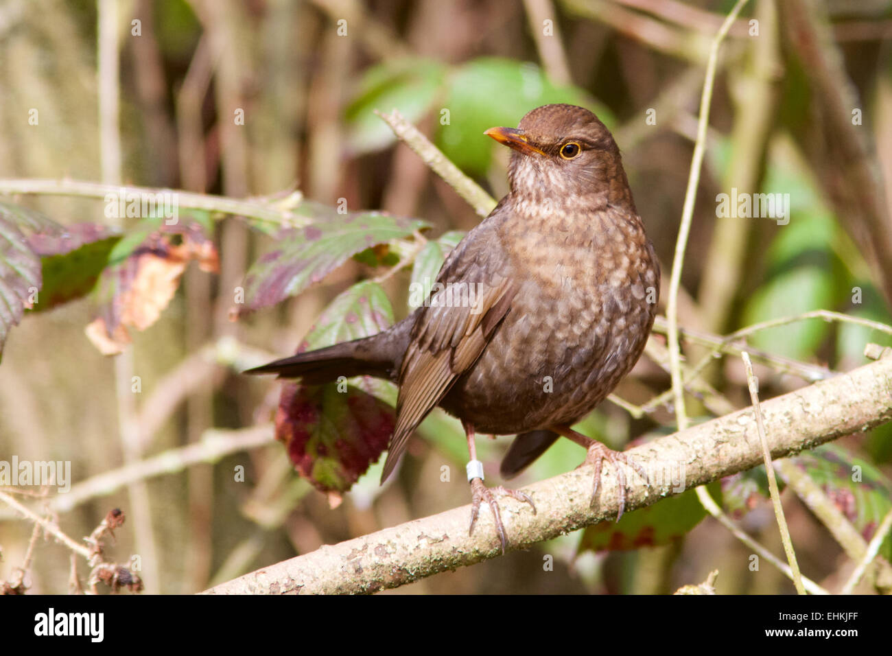 A female Blackbird perched in a woodland setting. - Stock Image