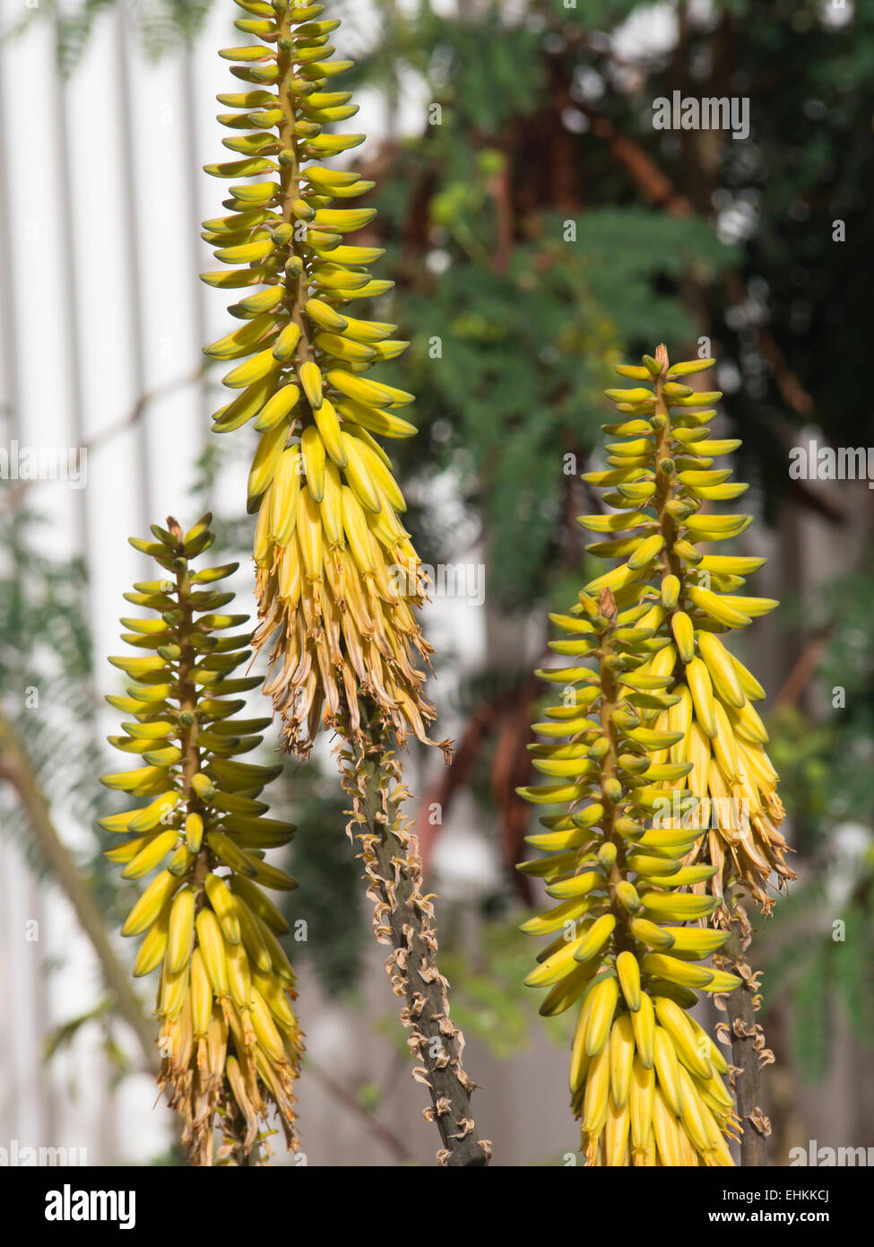 Aloe Vera Yellow Flowers From The Succulent Plant Cultivated In