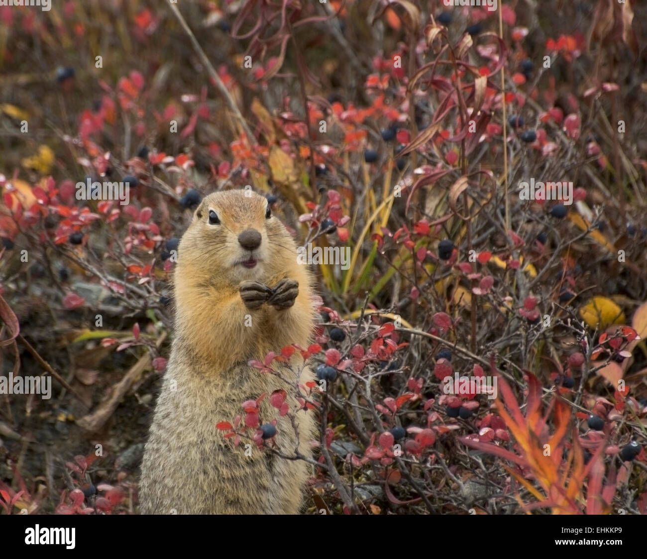 Arctic Ground Squirrel (Spermophilds parryii) partakes of fall's bounty of bluberries, Denali National Park, - Stock Image