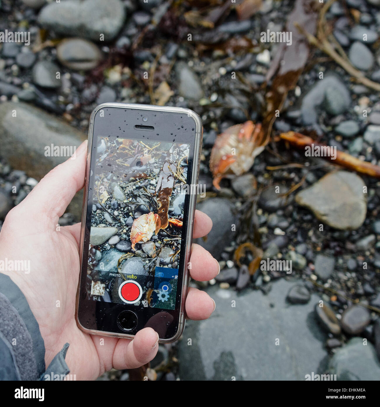 Woman's left hand using an iPhone to photograph a Rock Crab on the beach, Acadia National Park,  Bar Harbor, Maine. Stock Photo