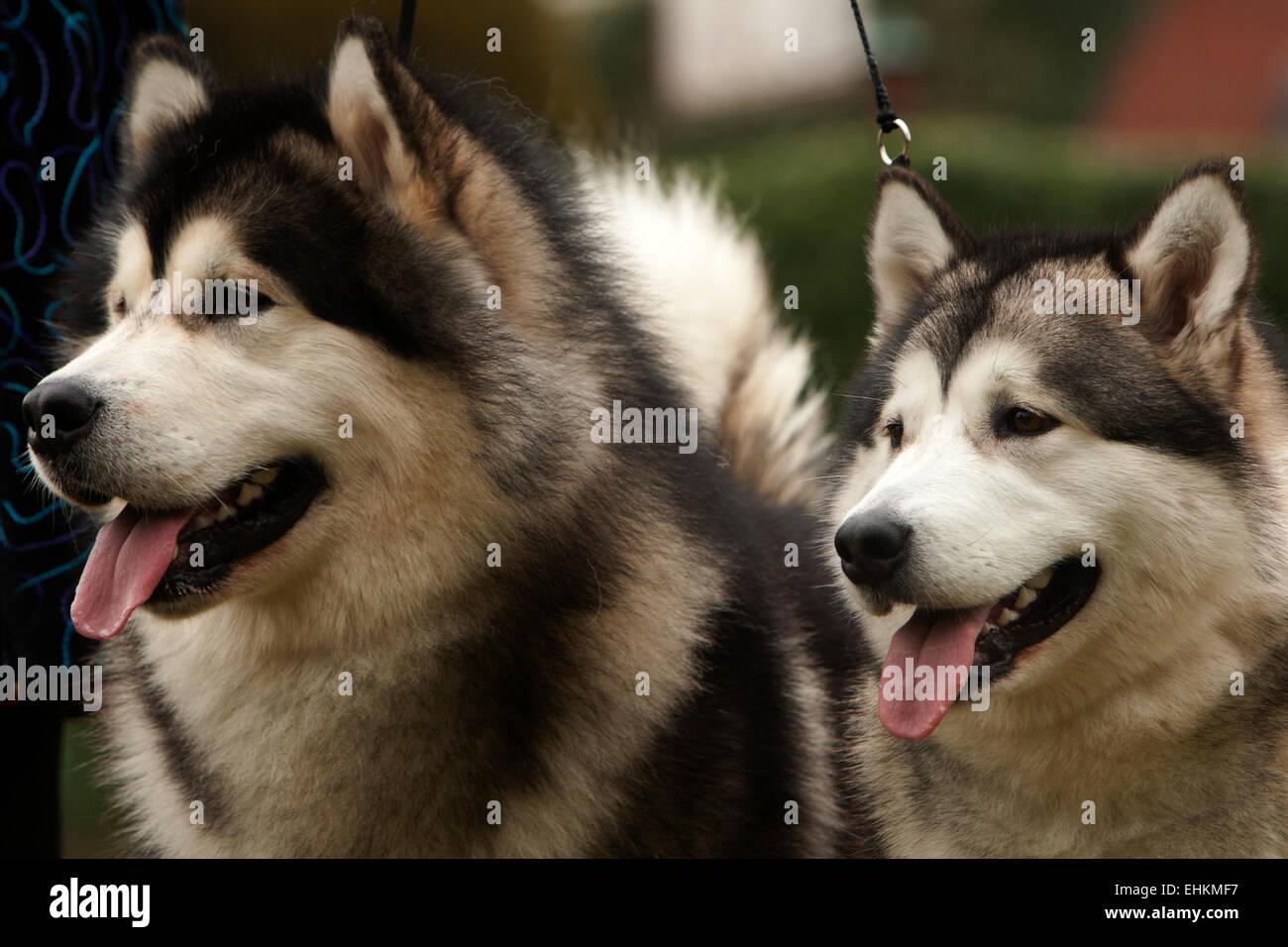 Alaskan Malamute (canis lupus familiaris) - Stock Image
