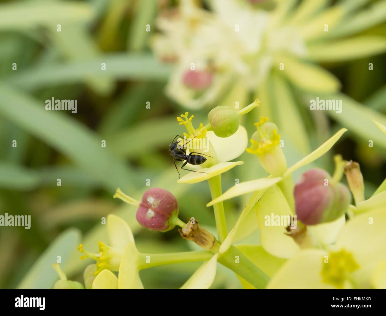 Macro of Euphorbia subspecies lambii or obtusifolia with ant Fuerteventura, Canary islands Spain - Stock Image