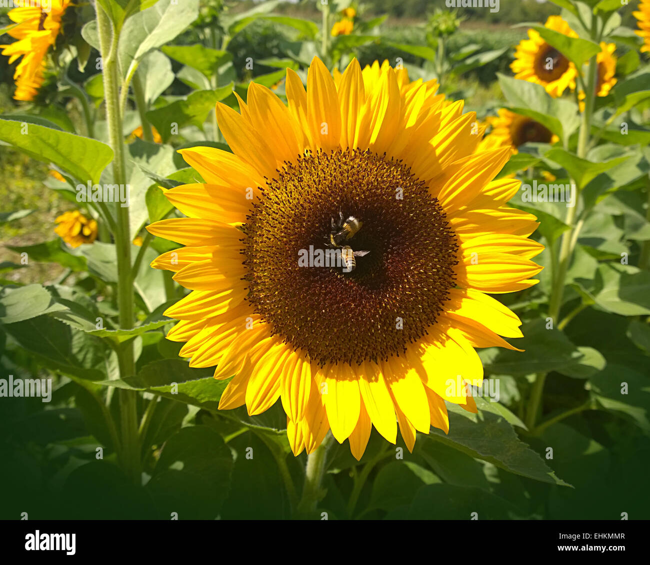 Sunflower with two bees close up in rural environment on