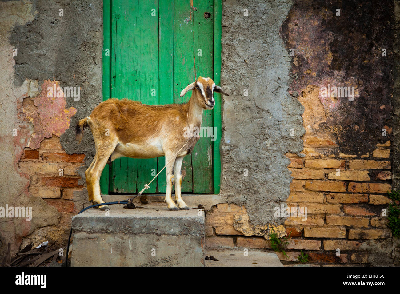 Pet goat chained up in Trinidad, Cuba - Stock Image