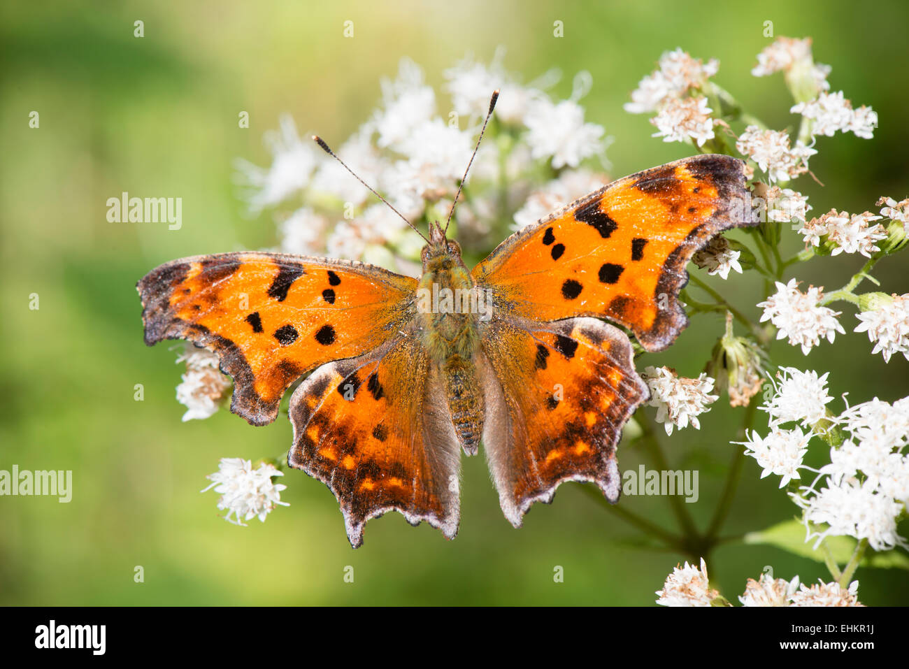 Comma butterfly close up with wings open, resting on small white flowers - Stock Image