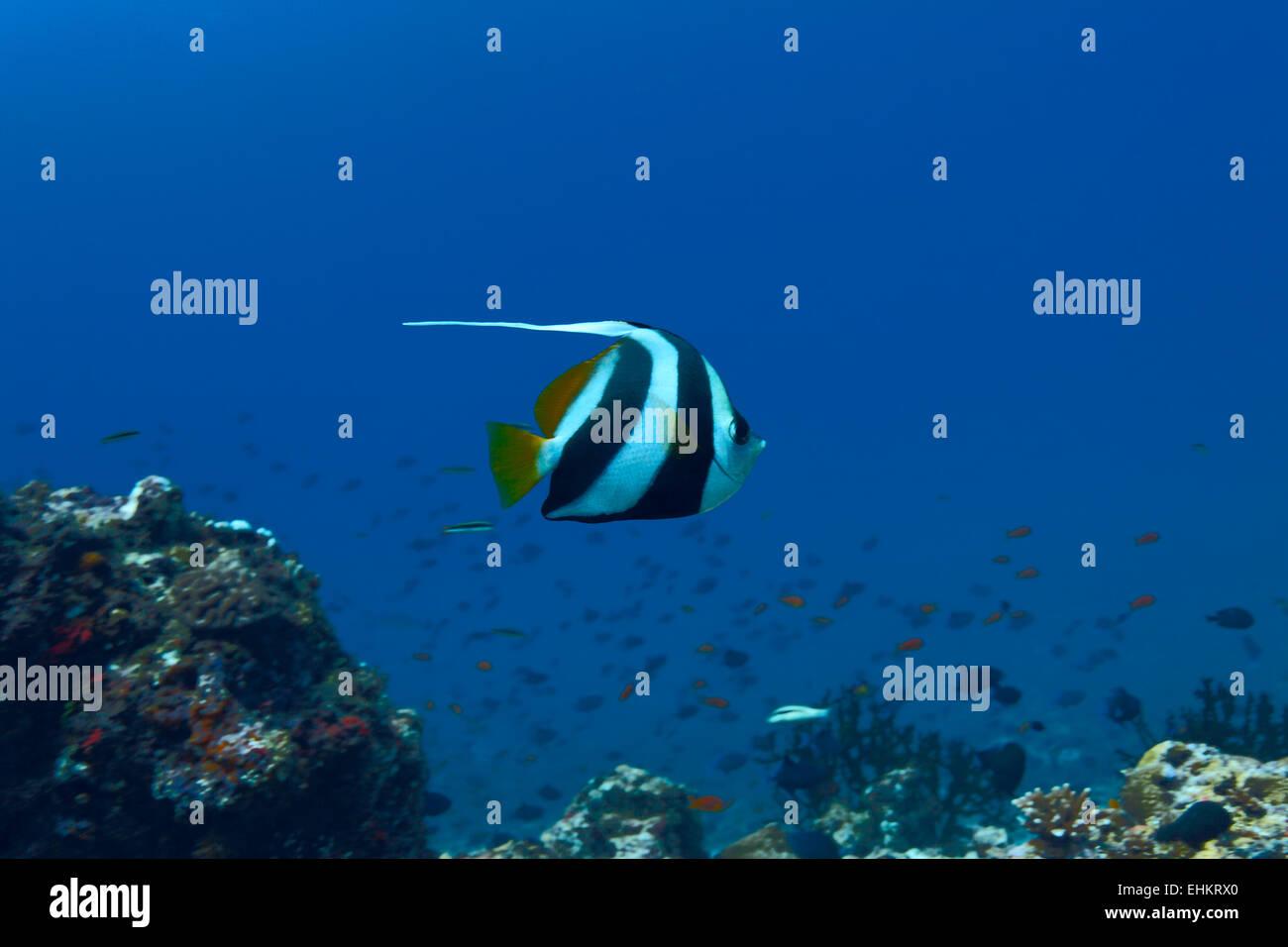 The pennant coralfish (Heniochus acuminatus), Maldives - Stock Image