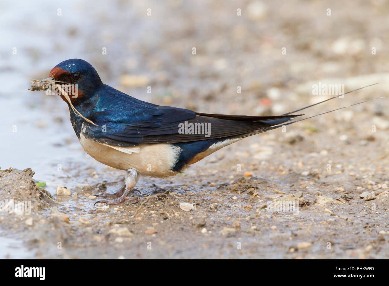 Adult Barn Swallow - Stock Image