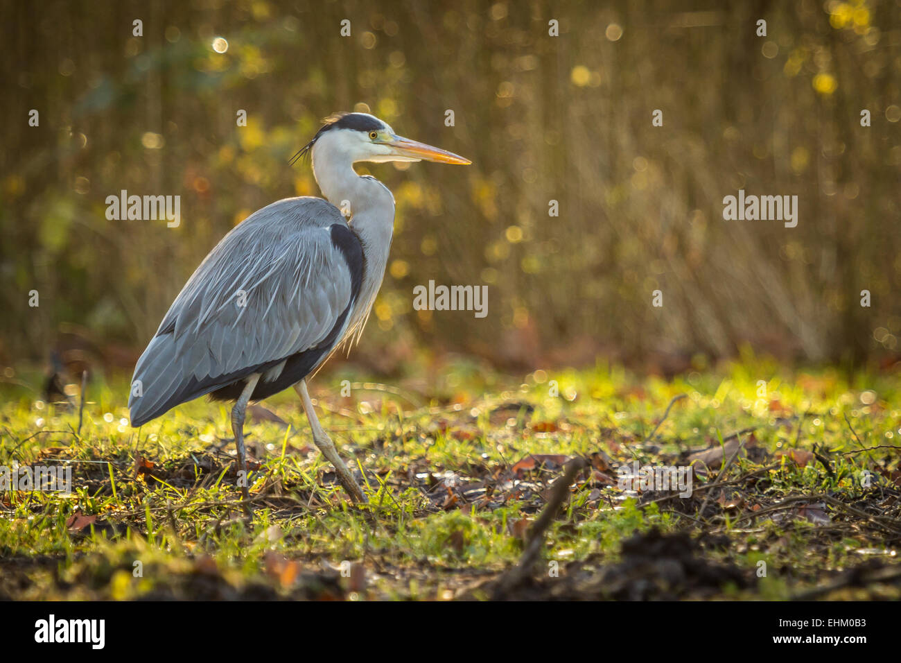 Great blue heron (Ardea herodias) in search of food in a forest during winter. - Stock Image