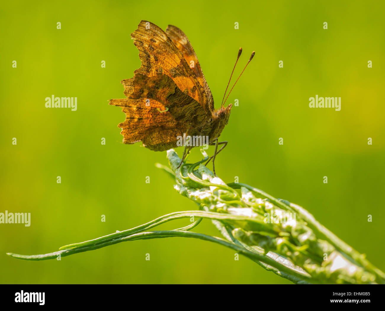 Comma butterfly (Polygonia c-album) resting on vegetaion in grassland - Stock Image
