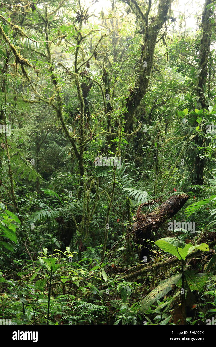 Thick trees in cloud forest of Monteverde Biological Reserve, Costa Rica Stock Photo
