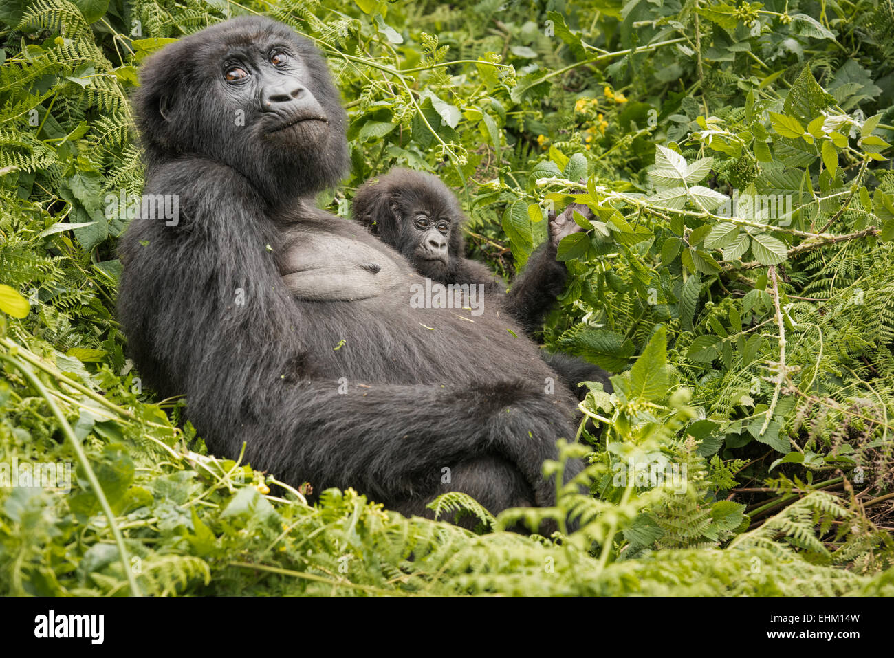 Stock photo of mountain gorilla in Volcanoes National Park, Rwanda (Sabyinyo group) - Stock Image