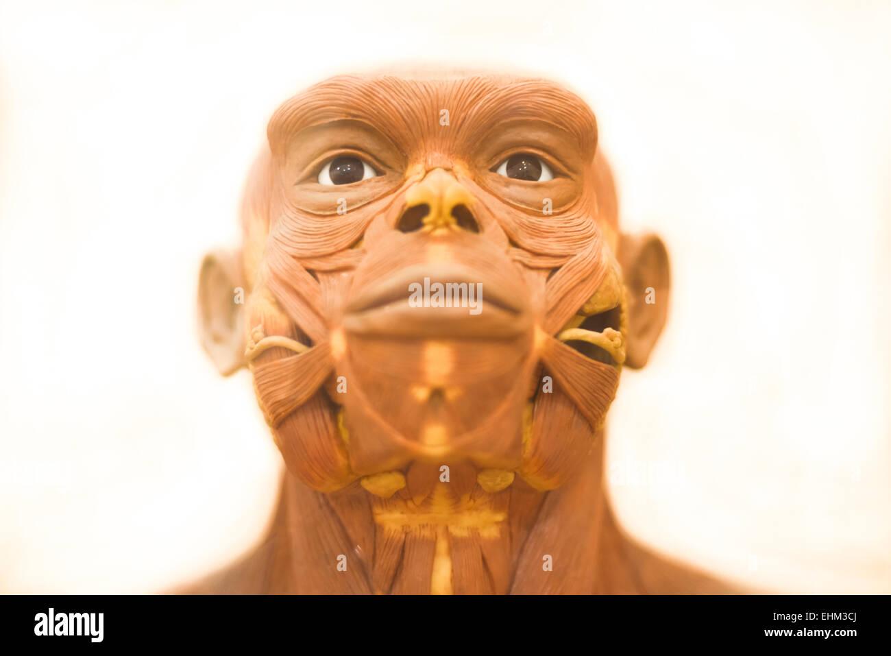 Bandung, Indonesia. 15th Mar, 2015. Details of life-sized reconstruction of Homo erectus by Yoichi Yazawa at Geology - Stock Image