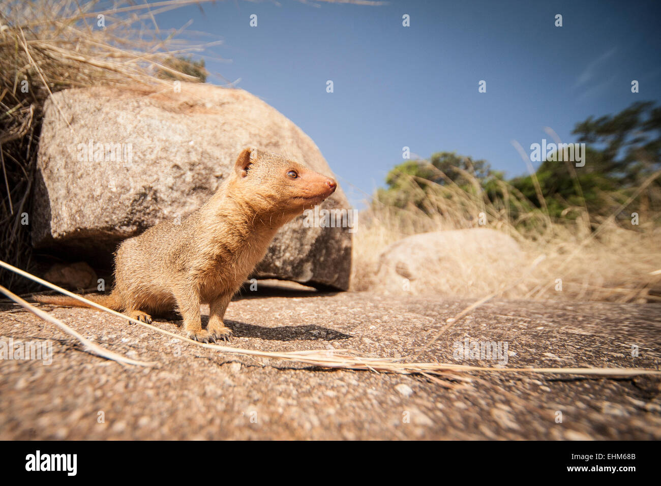 Common dwarf mongoose (Helogale parvula) scouting the surroundings. - Stock Image