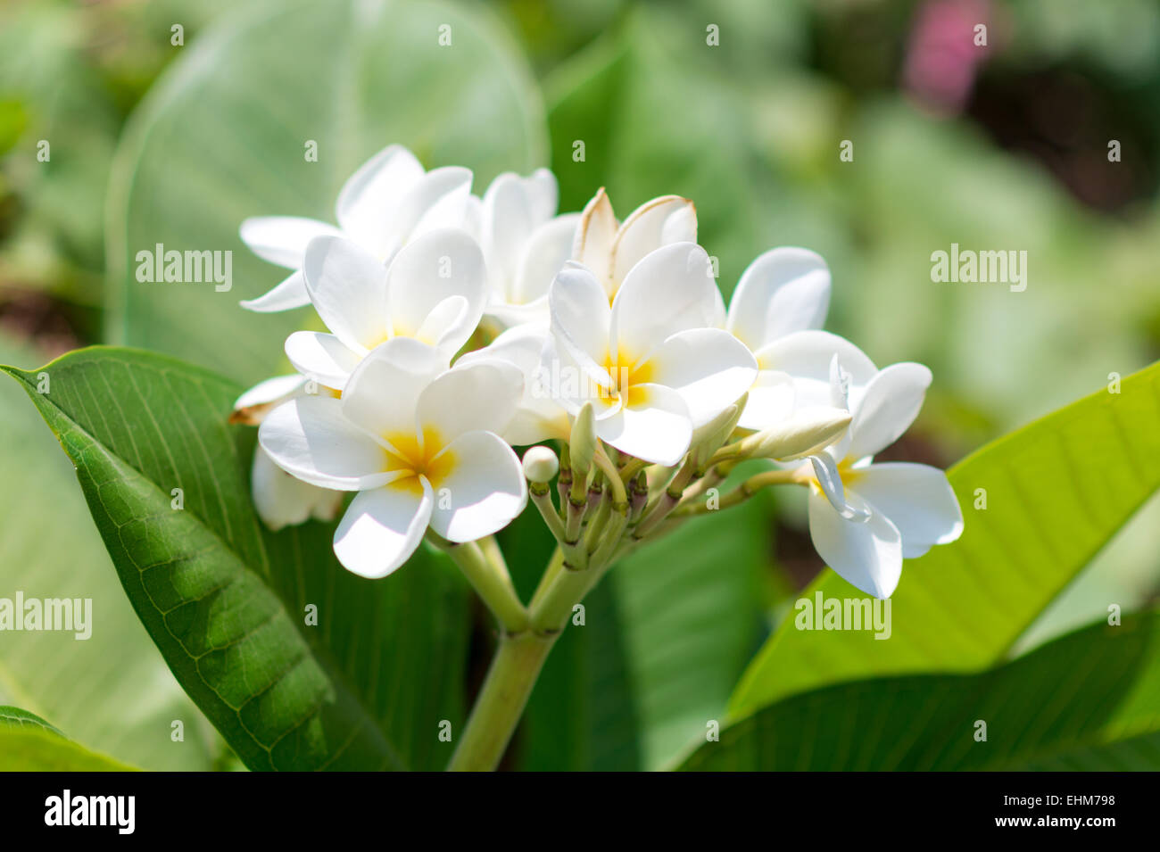 White yellow tropical flowers stock photos white yellow tropical close up of white tropical flowers stock image mightylinksfo