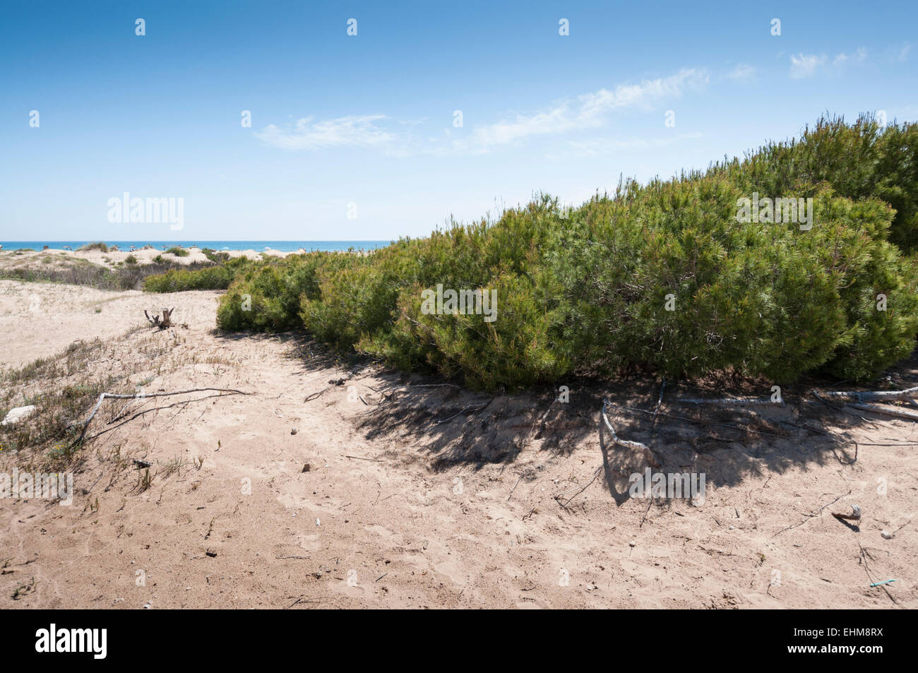 Aleppo Pine, Pinus halepensis, growing in dunes in Carabassi beach, Elche, Spain - Stock Image