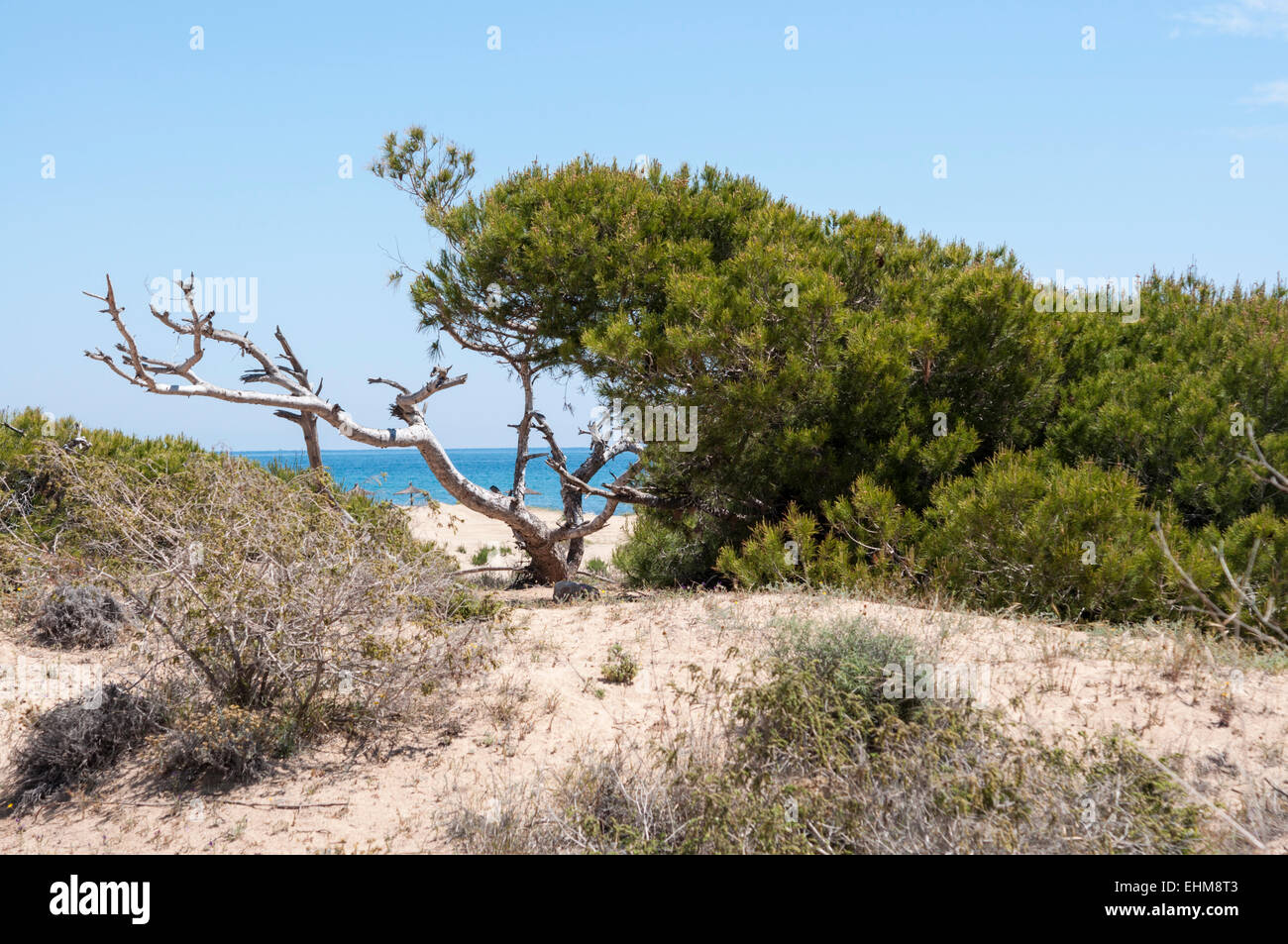 Aleppo Pine, Pinus halepensis, growing in dunes in Carabassi Beach, Elche, Alicante, Spain - Stock Image