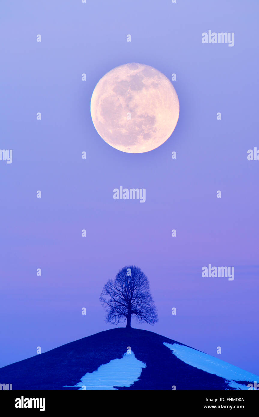 Lime Tree (Tilia) on a moraine hill at full moon, Canton of Zurich, Switzerland - Stock Image