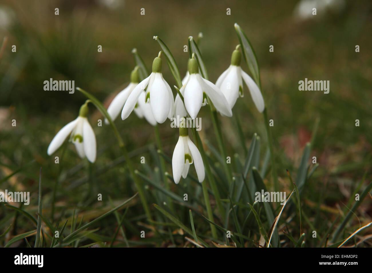 Common snowdrop (Galanthus nivalis) in Steinbach near Moritzburg, Saxony, Germany. - Stock Image