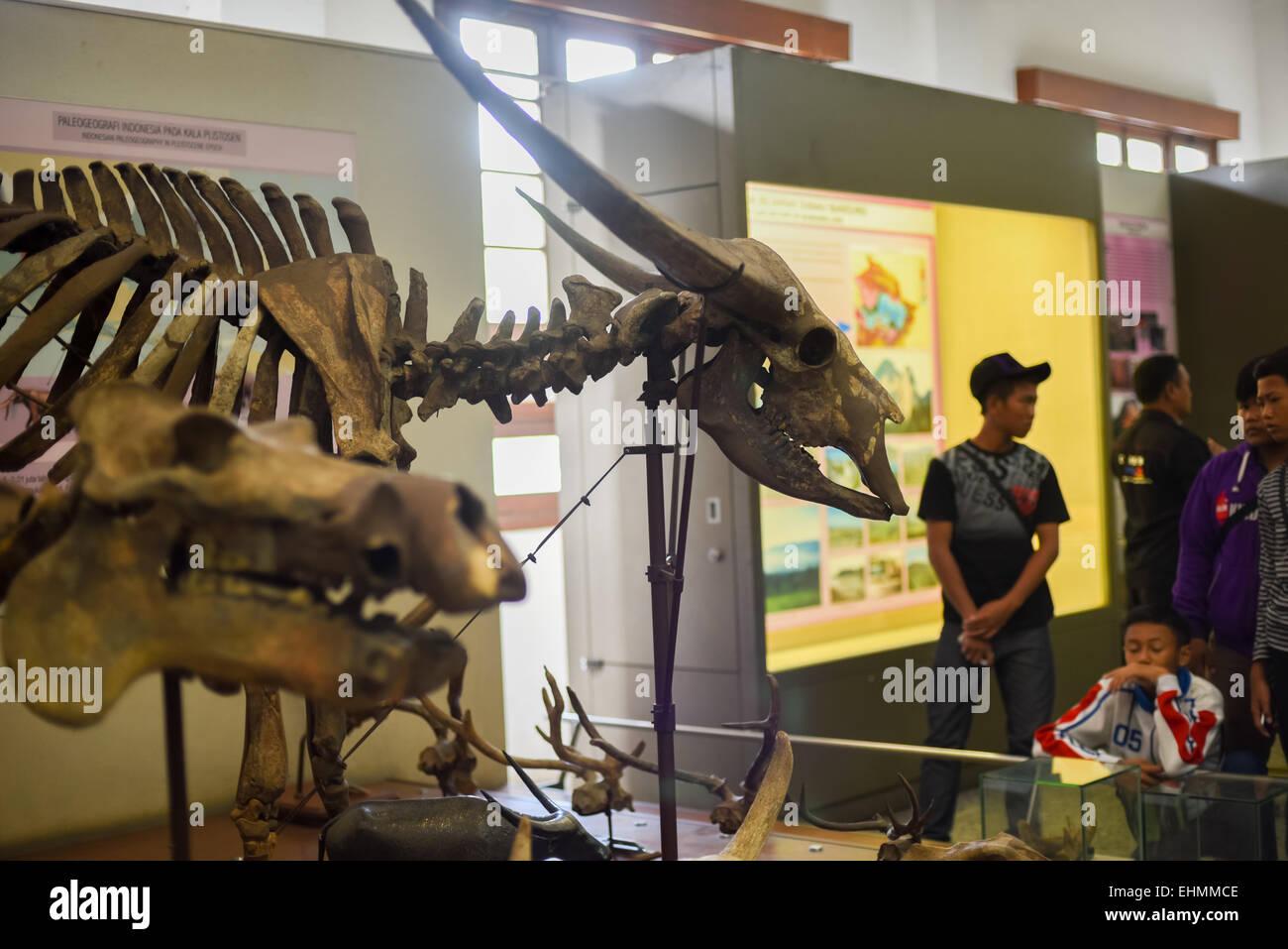 Local visitors examine skeleton of ancient water buffalo (Bubalus palaeokerabau) at Zoology Museum, Bandung. - Stock Image