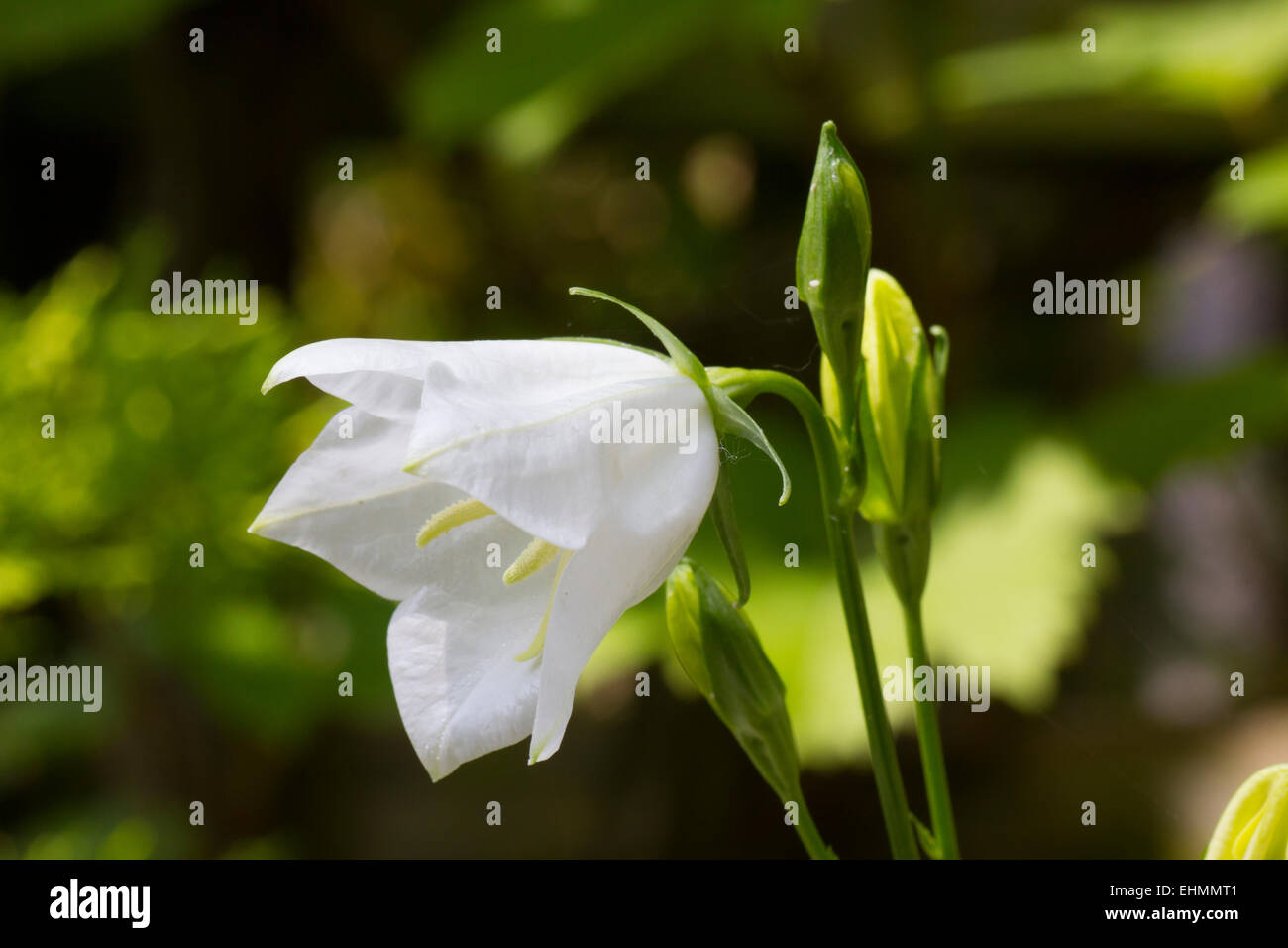 Delicate Bell Shaped Flower Stock Photos Delicate Bell Shaped