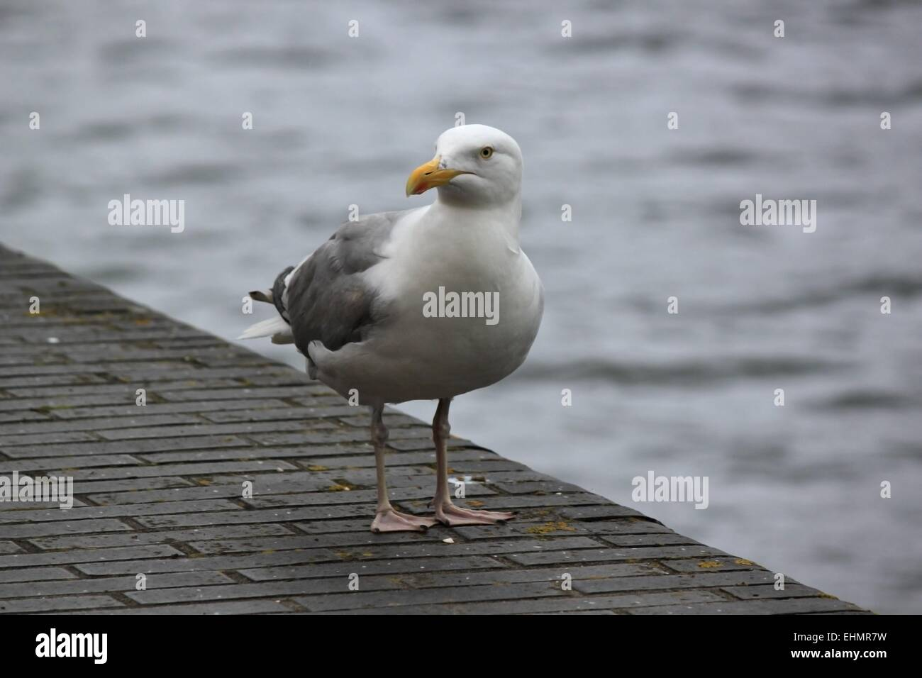 Seagull by the waters edge - Stock Image