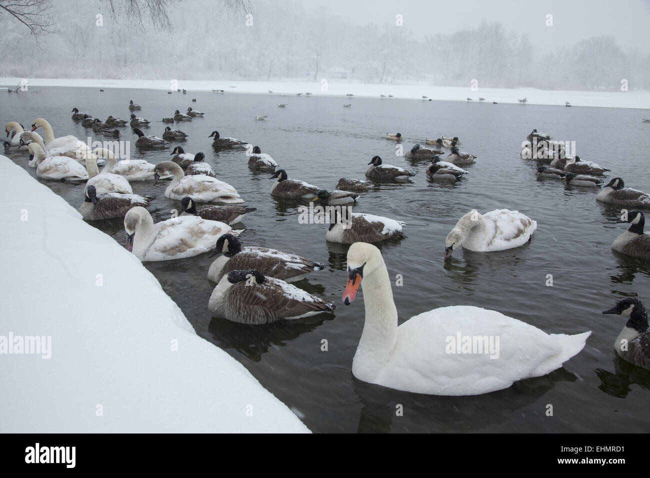 Water birds gather along the edge of the partially frozen lake in Prospect Park, hoping to be fed by people. Brooklyn, - Stock Image