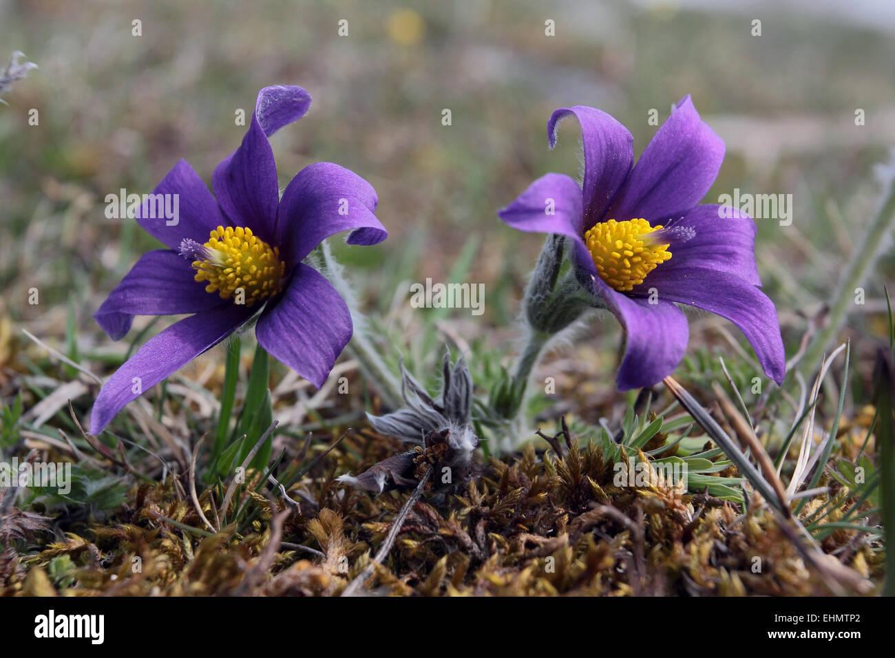 Pulsatilla vulgaris, Pasque flower - Stock Image