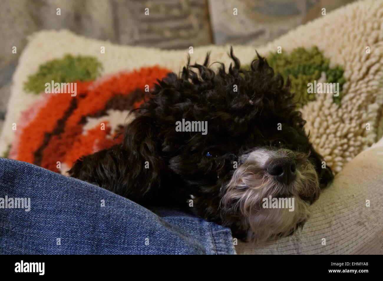 Harlequin poodles - Stock Image
